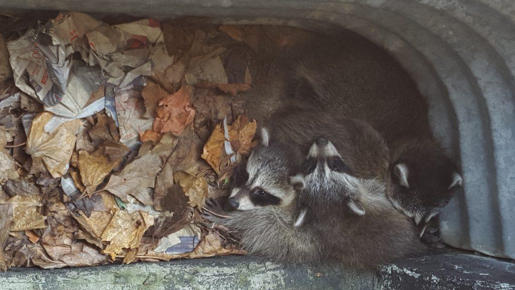 Raccoon babies in window well.