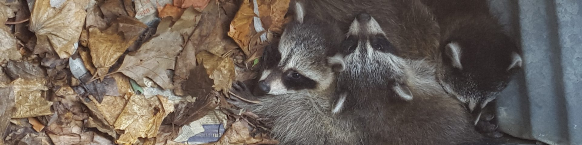 raccoon removal greater toronto area