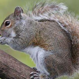squirrel removal toronto