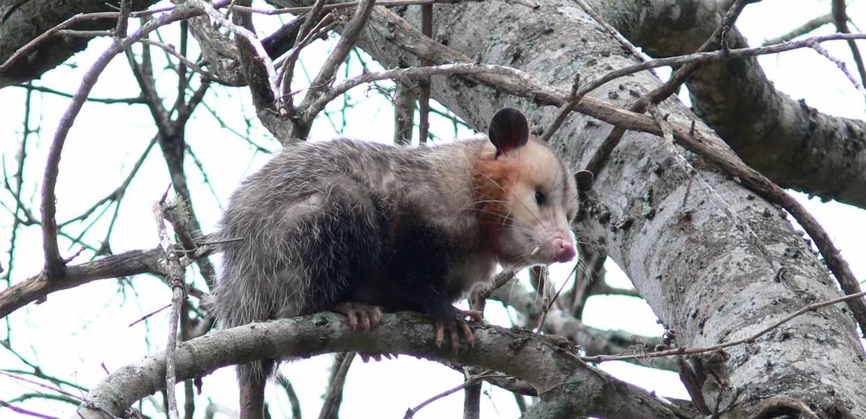Opossum Removal Sia Wildlife Control Inc