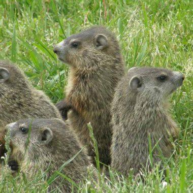 groundhog removal toronto