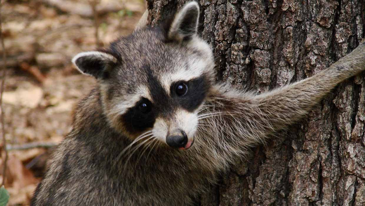 raccoon removal toronto