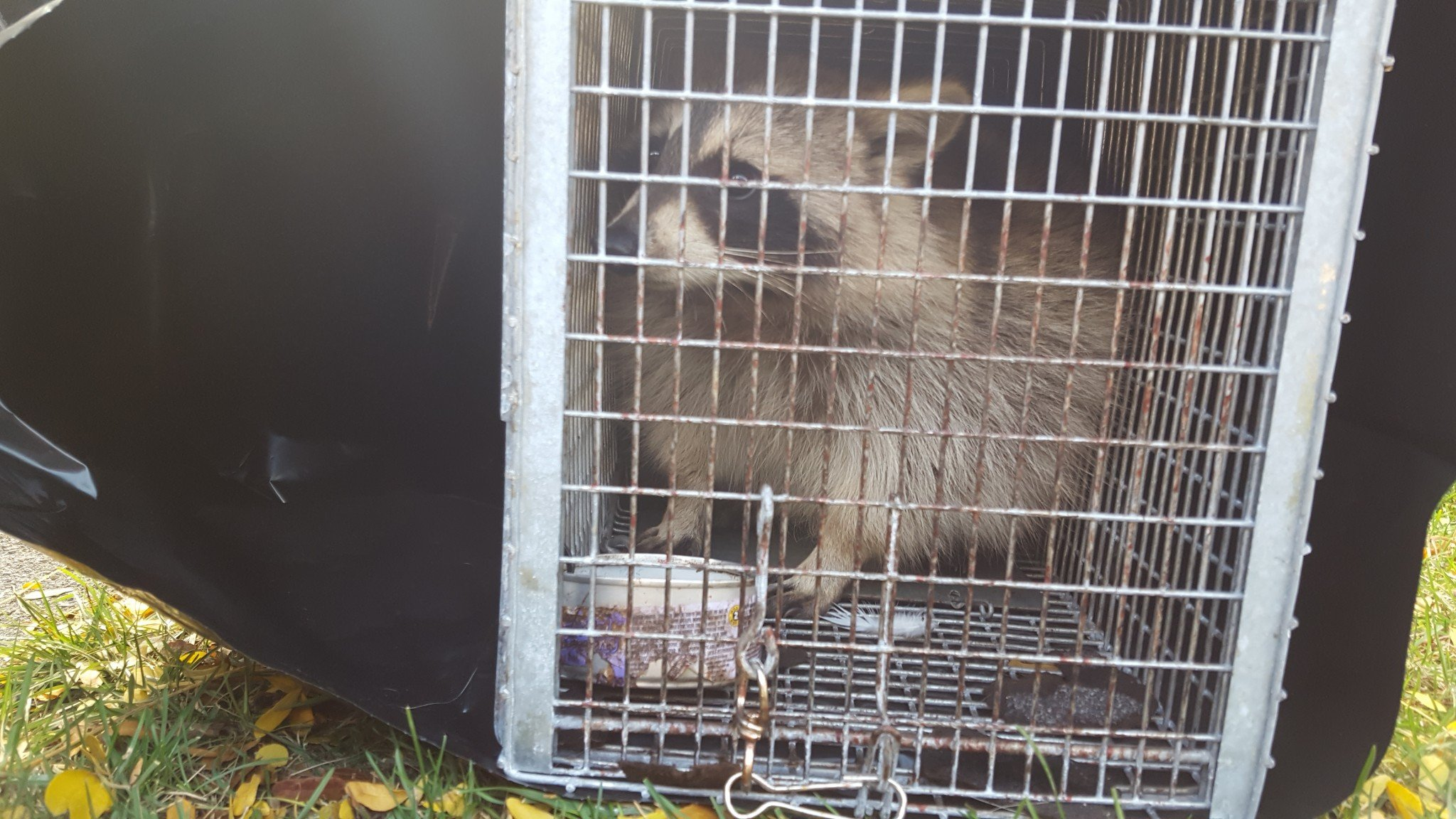 Trapping Raccoons