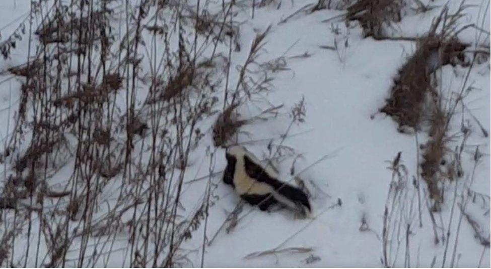 Skunk Relocation Winter