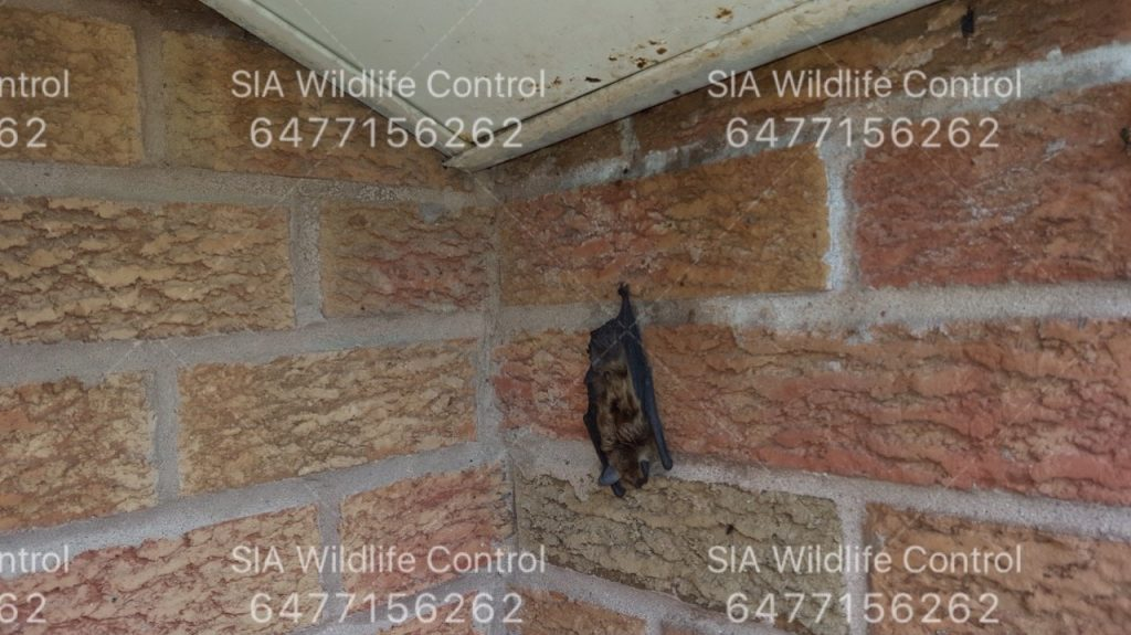 Bat Removal Attic
