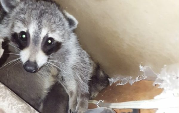 Raccoon Removal Mississauga