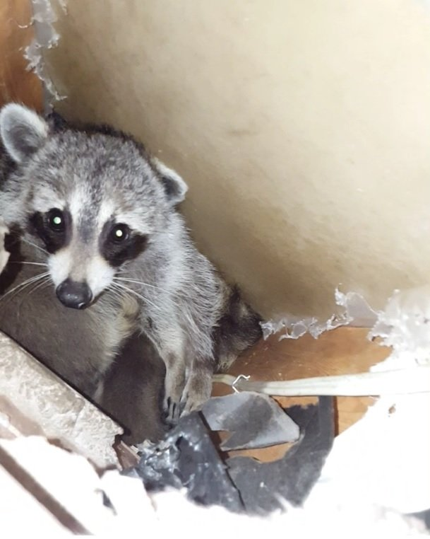 Vicious Raccoon Attacks And How To Protect Yourself