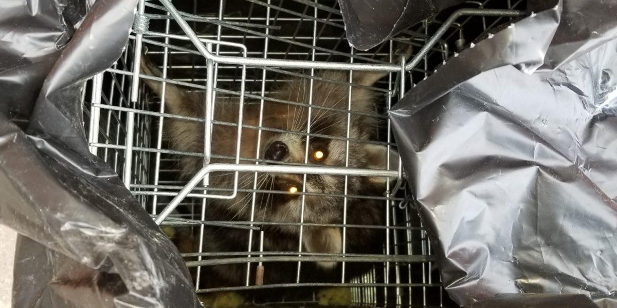Raccoon Removal Brampton