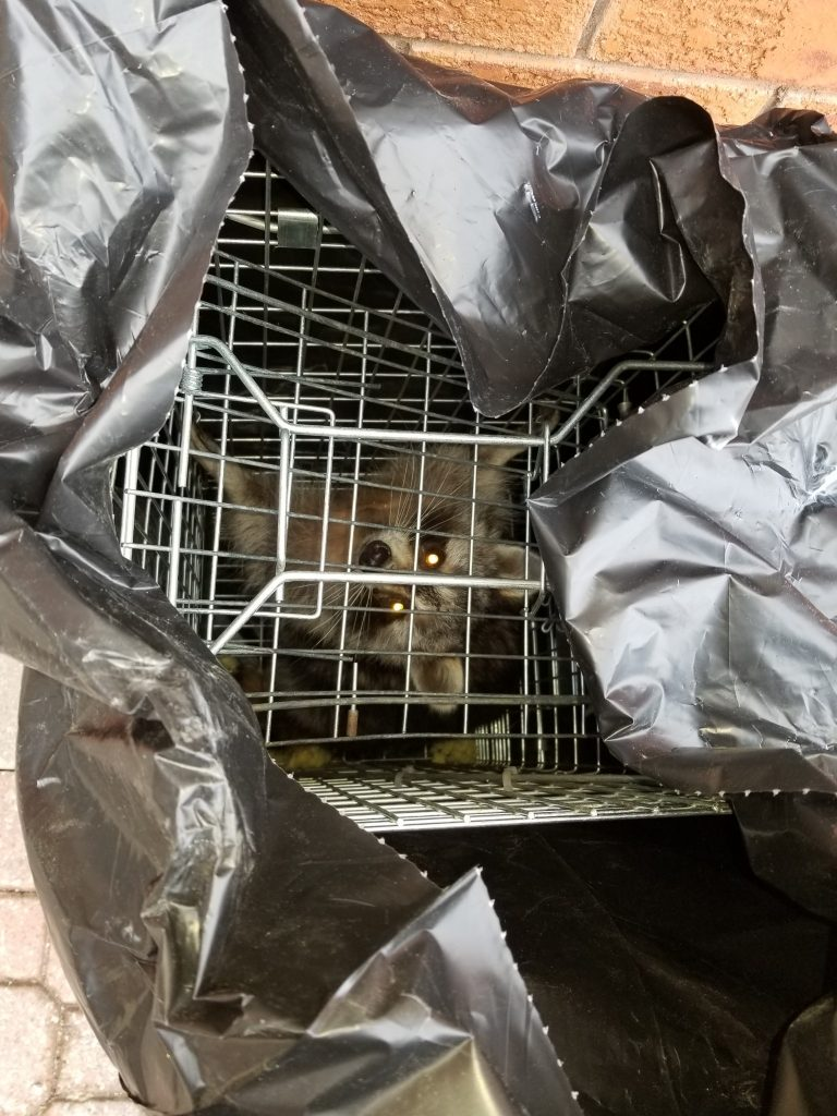 Raccoon Removal Brampton