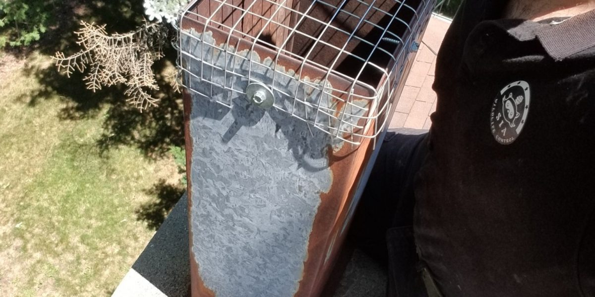 raccoon removal chimney North York August 2018