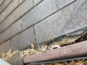 squirrel removal willowbeach roofline damage