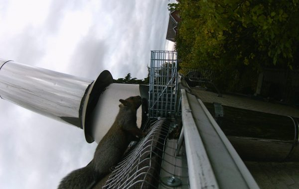 squirrel removal attic keswick october 2018