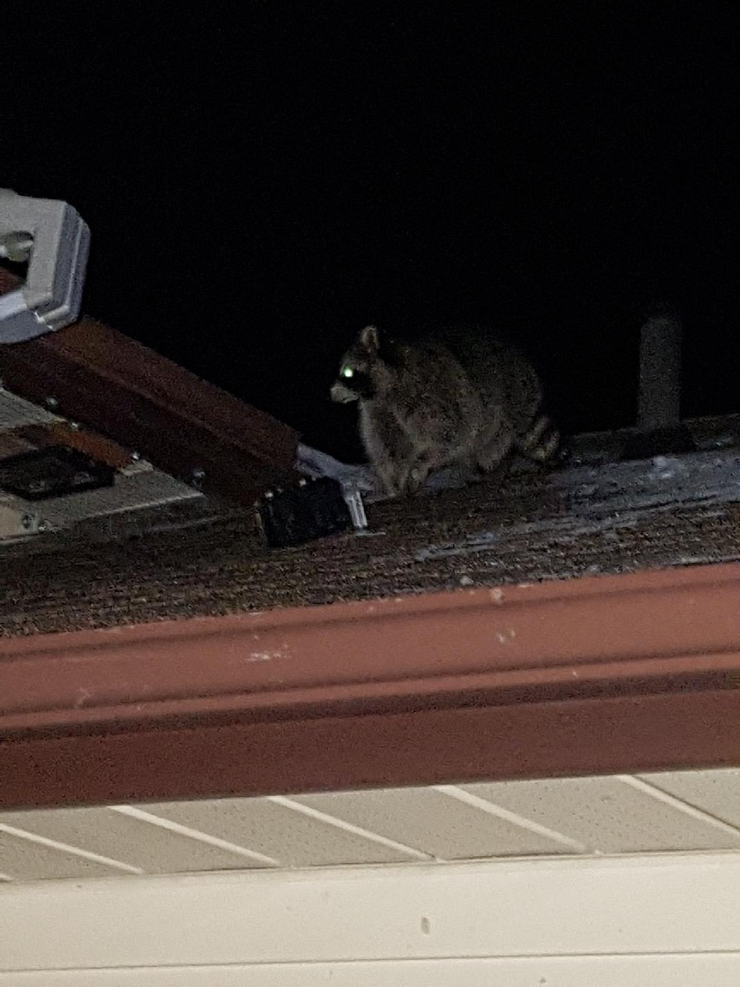 Raccoon And Pest Problems In The Attic