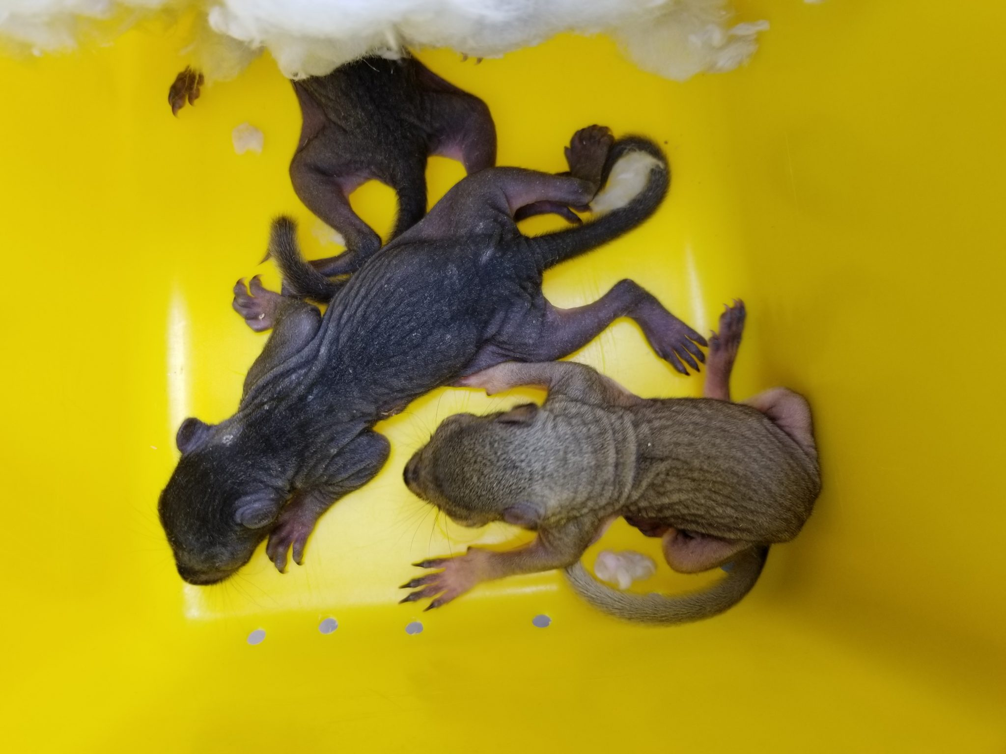 squirrel babies after removal in Newmarket