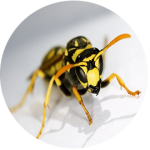 Wasp Extermination