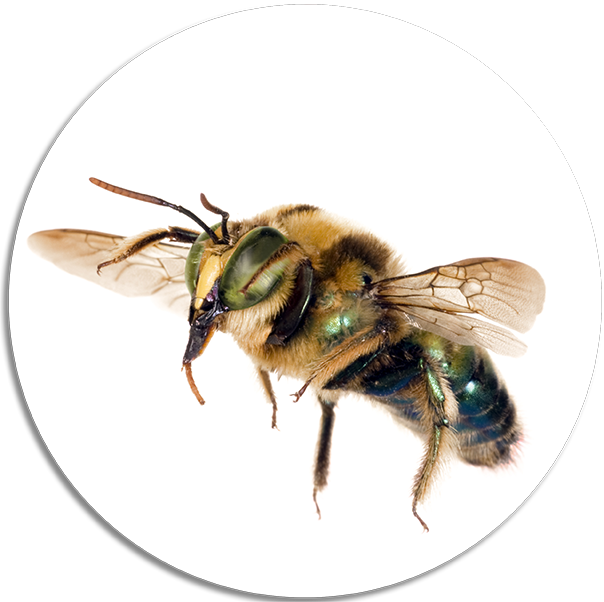 Carpenter Bee Removal